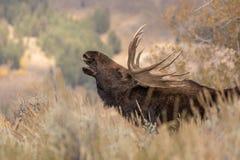 TjurShiras älg som är brunstig i Wyoming arkivfoton