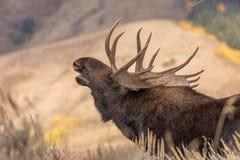 TjurShiras älg som är brunstig i Wyoming royaltyfri foto