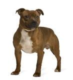 tjurstaffordshire plattform terrier arkivfoton