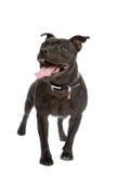 tjurstaffordshire terrier Arkivbild