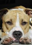 tjurstaffordshire terrier arkivbilder