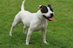 tjurstaffordshire terrier Fotografering för Bildbyråer