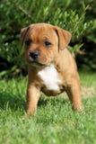 tjurstaffordshire terrier Royaltyfri Bild
