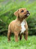 tjurstaffordshire terrier Arkivfoton