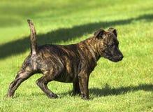 tjurvalpstaffordshire terrier Fotografering för Bildbyråer