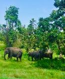 Tjusa elefanter av Indien arkivbilder