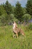 Tjuta prärievargCanislatrans i fält Fotografering för Bildbyråer