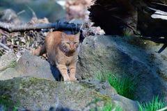 Tjuvjaga katten på en flod arkivbild