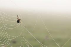 tkactwo pająk na sieci (Araneus diadematus) Zdjęcie Stock