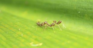 Tkacz mrówka komunikuje Zdjęcie Royalty Free