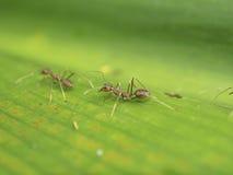 Tkacz mrówka komunikuje Obrazy Royalty Free