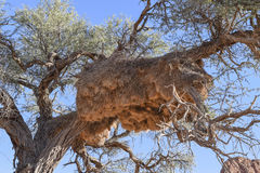 Tkacza gniazdeczko w Namibia Zdjęcia Stock