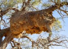 Tkacza gniazdeczko w Namibia Zdjęcie Stock