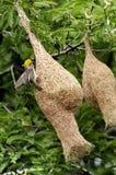 Tkacza ptak Fotografia Stock