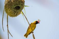 Tkacza ptak Zdjęcie Royalty Free