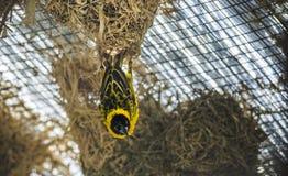 Tkacza ptak Obraz Stock