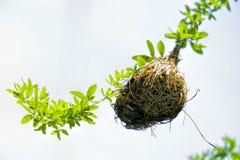 Tkacza ptaka gniazdeczko przy gałąź drzewo Zdjęcia Royalty Free