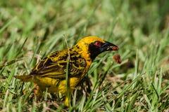 Tkacza ptaka karmienie Obrazy Royalty Free