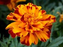 Tli się pożarniczy kwiatów płatki Zdjęcia Royalty Free