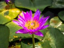 Tlotus紫色是蜂是秀丽 免版税库存图片