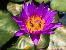 Tlotus purple is bee is beauty stock images