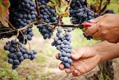 Tnący dojrzały winogrono Zdjęcie Royalty Free