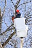 tnący klonowego drzewa pracownik Obraz Royalty Free