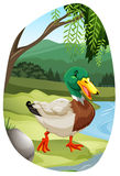 Tn_mallard_duckFBD_02 Stock Photo