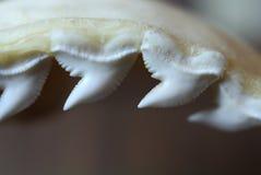 Tänder för tigerhaj Arkivfoto