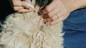 To apply on a dog`s fur a preparation from pests, ticks and fleas
