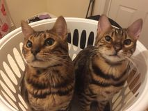 To Bengal cats in a washing basket. Bengal cats sitting in a washing basket Stock Photos