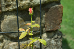 About to Bloom Lonesome Rose Stock Images