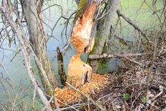 To build a dam, beavers have to carry loads sometimes several times their own weight. Their beavers are working day and night time. To build a dam, beavers have Royalty Free Stock Photo