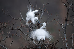 To build their homes. Two egret To build their homes Royalty Free Stock Image