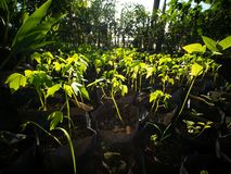 To Cultivate The Papaya Tree. In Black Plastic Bag royalty free stock photos