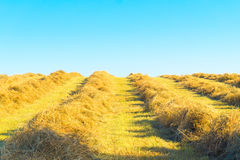 To dry the chopped hay Royalty Free Stock Image