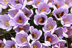 To each crocus on a bee. Royalty Free Stock Photos