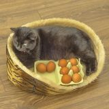 To Easter eggs need all, to it prepare even cats. cat with eggs. happy Easter. Cat sitting in a basket on a wooden background with Easter eggs around royalty free stock image