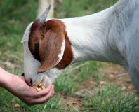 To feed the goat Stock Images