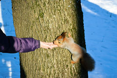 To feed a squirrel in the winter. Stock Photos