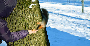 To feed a squirrel in the winter. Royalty Free Stock Photo