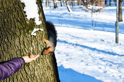 To feed a squirrel in the winter. Stock Image