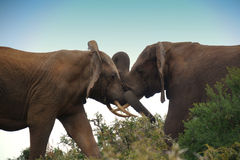 To fighting elephant bulls. Two elephant bulls locked in combat in south africa Royalty Free Stock Photography