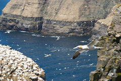 To Fly. Cape St. Marys Newfoundland Ecological Reserve as Background to Gannet in Full Streamlined Flight including Feather Details on Wings Royalty Free Stock Image