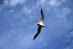 To Fly. Sea bird in flight of the coast of Mexico Stock Photos