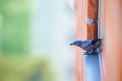 About to fly. Bluebird standing on a window, about to fly Royalty Free Stock Images
