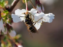 The wasp queen is getting first food out of the cherry tree blossom stock images