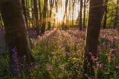 In to the glare. Bluebells at sunset in West Sussex, England. The sun just breaking past the trees throwing out a sun flare Royalty Free Stock Photos