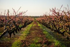 Apple orchard starts blooming after a hard prune stock photos