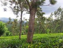 To jest istnego wizerunku zieleń i błękitny mieszany naturalny drzewny prącie obrazy royalty free